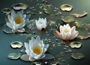 Nilüfer-Çiçeği-37
