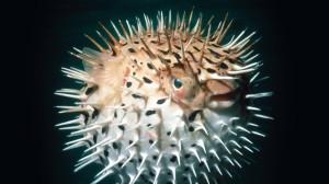 18589-long-spine-porcupinefish-animal-desktop-wallpaper-1920x1080