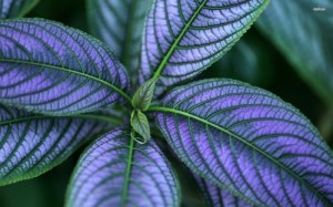 Purple-leaves